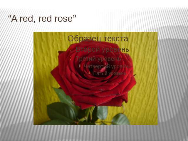 """""""A red, red rose"""""""
