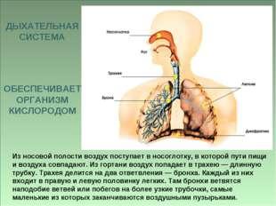 Из носовой полости воздух поступает в носоглотку, в которой пути пищи и возду