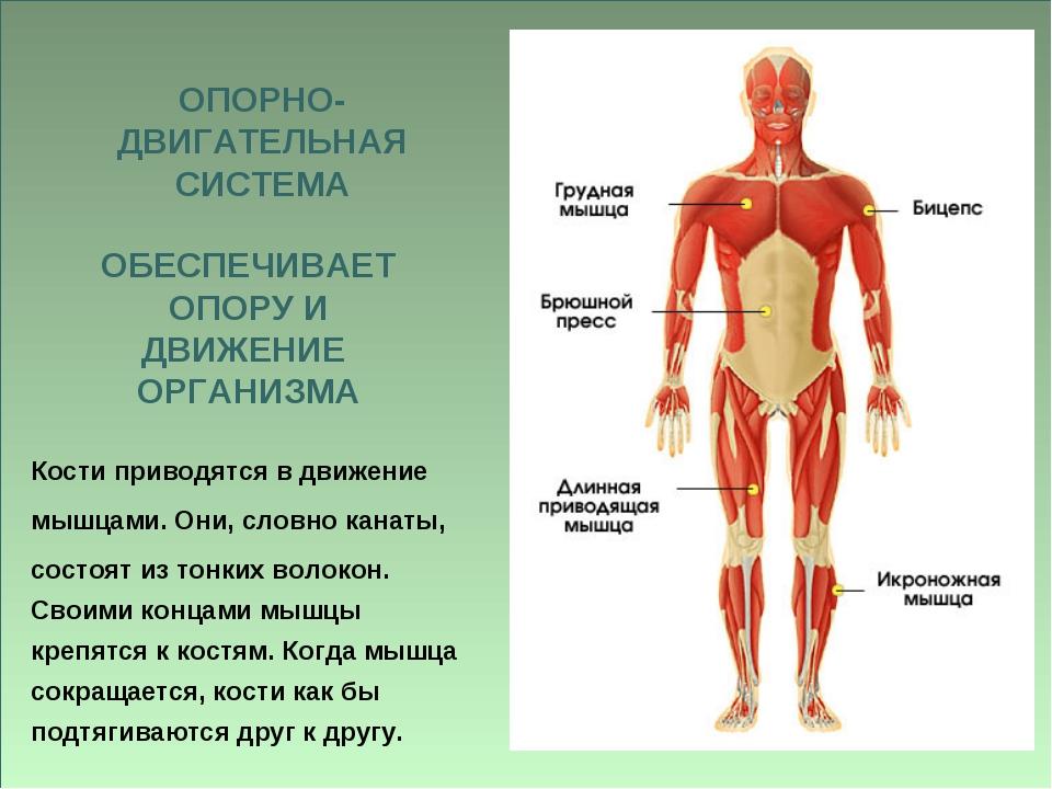ОПОРНО- ДВИГАТЕЛЬНАЯ СИСТЕМА ОБЕСПЕЧИВАЕТ ОПОРУ И ДВИЖЕНИЕ ОРГАНИЗМА Кости