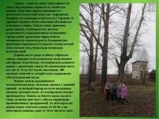 Тополь – одно из самых популярных на земле листопадных деревьев из семейства