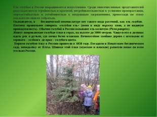 Ель голубая в России выращивается искусственно. Среди многочисленных представ