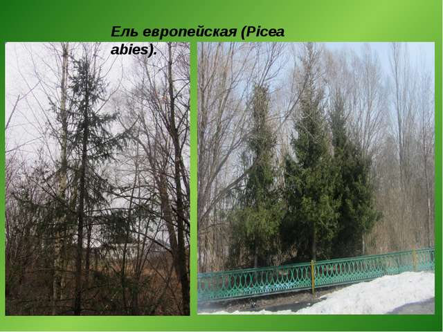 Ель европейская (Picea abies).
