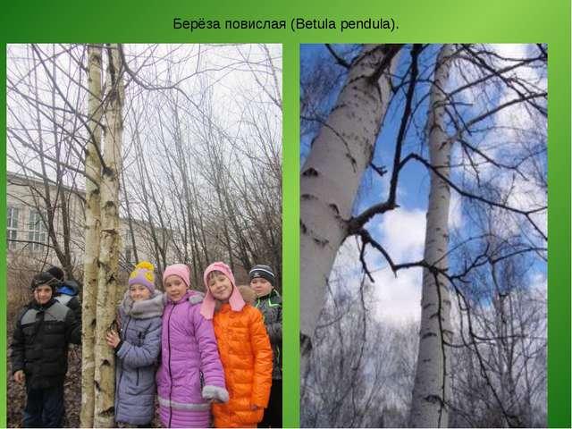 Берёза повислая (Betula pendula).