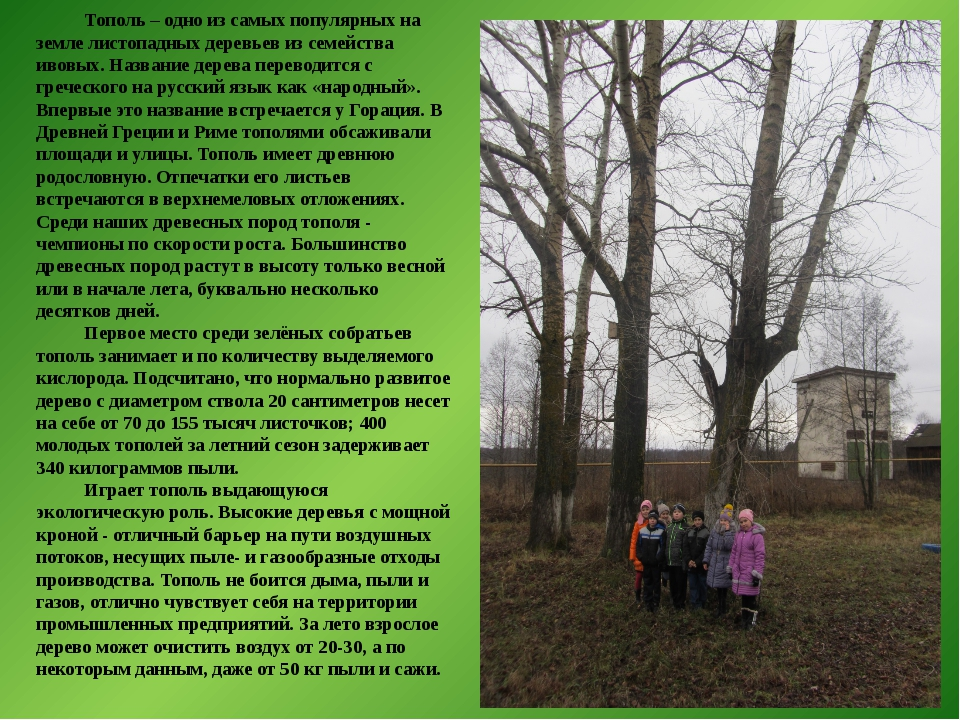Тополь – одно из самых популярных на земле листопадных деревьев из семейства...