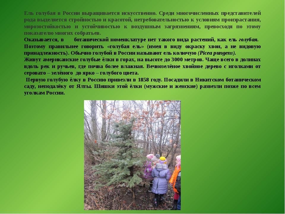 Ель голубая в России выращивается искусственно. Среди многочисленных представ...