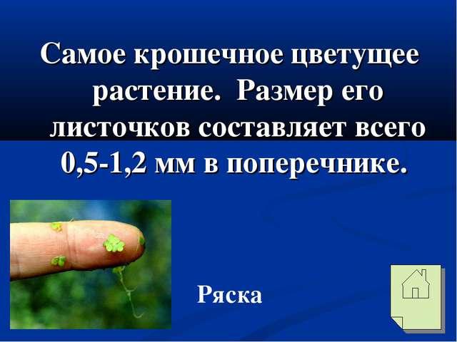 Самое крошечное цветущее растение. Размер его листочков составляет всего 0,5-...