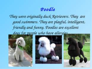 Poodle They were originally duck Retrievers. They are good swimmers. They are
