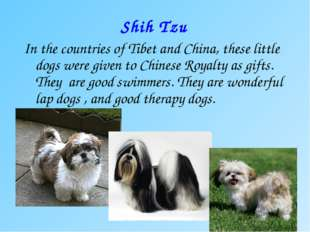 Shih Tzu In the countries of Tibet and China, these little dogs were given to