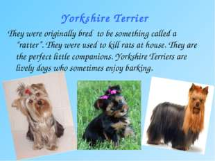 "Yorkshire Terrier They were originally bred to be something called a ""ratter"