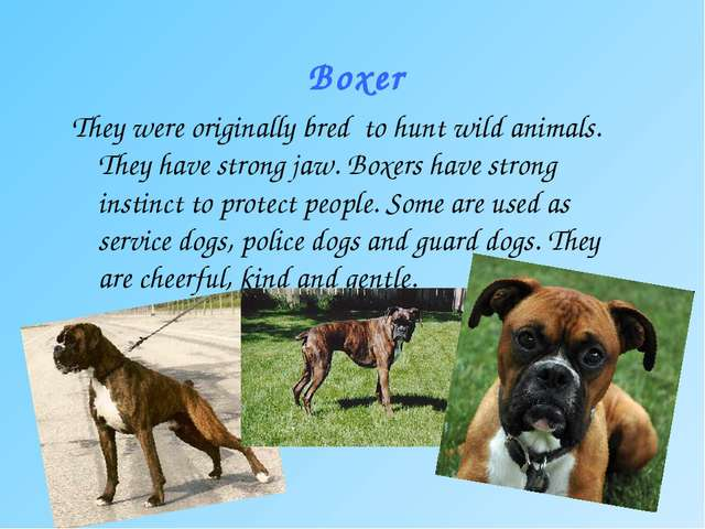 Boxer They were originally bred to hunt wild animals. They have strong jaw. B...