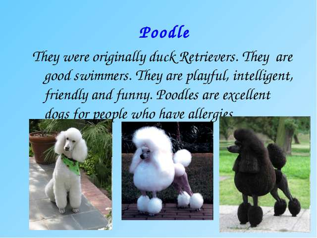 Poodle They were originally duck Retrievers. They are good swimmers. They are...