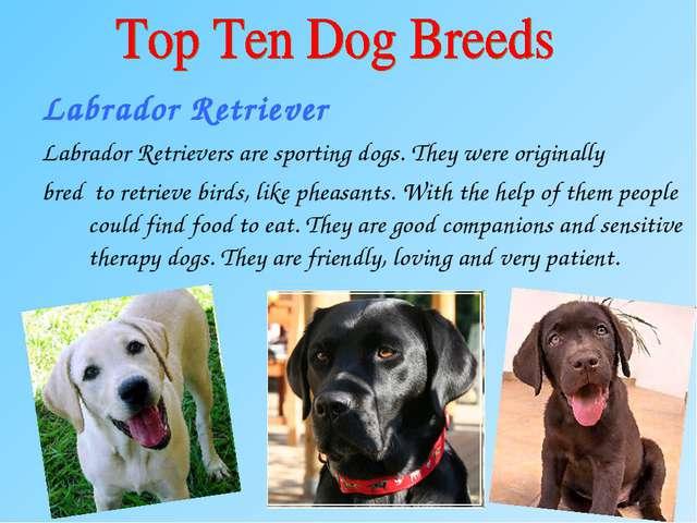 Labrador Retriever Labrador Retrievers are sporting dogs. They were originall...