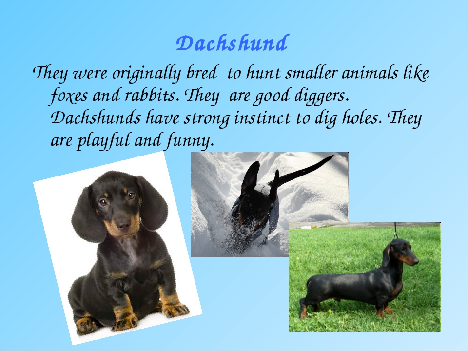 Dachshund They were originally bred to hunt smaller animals like foxes and ra...