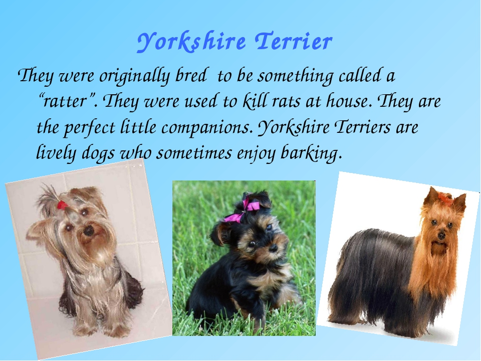 "Yorkshire Terrier They were originally bred to be something called a ""ratter..."