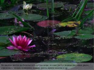 Во многих местах на болотах есть озёрца воды, и в них растут водные растения: