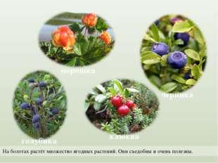 На болотах растёт множество ягодных растений. Они съедобны и очень полезны.