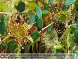 Росянка – насекомоядное растение. В воде болот мало нужных веществ. Вот росян