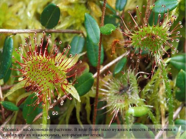 Росянка – насекомоядное растение. В воде болот мало нужных веществ. Вот росян...