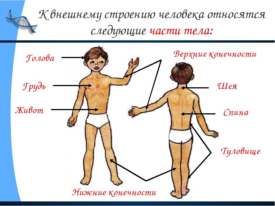 К внешнему строению человека относятся следующие части тела: Голова Туловище...