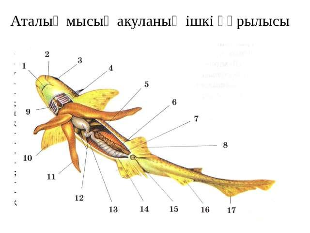 Аталық мысық акуланың ішкі құрылысы