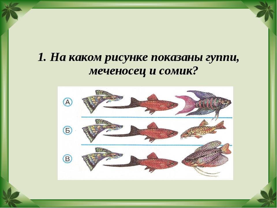 1. На каком рисунке показаны гуппи, меченосец и сомик?