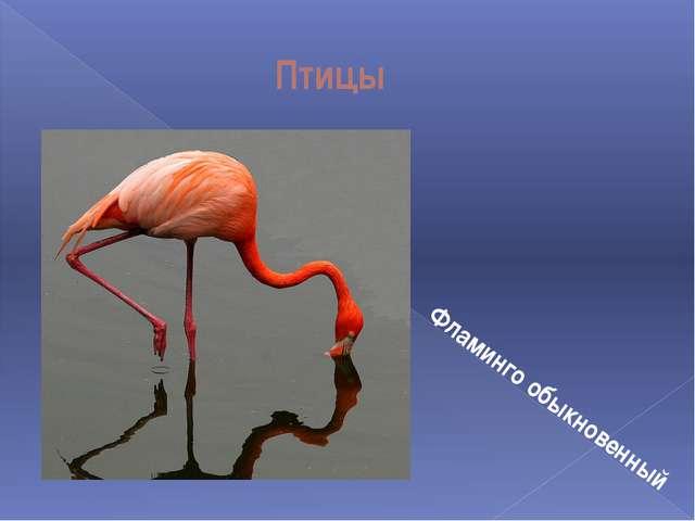 Птицы Фламинго обыкновенный