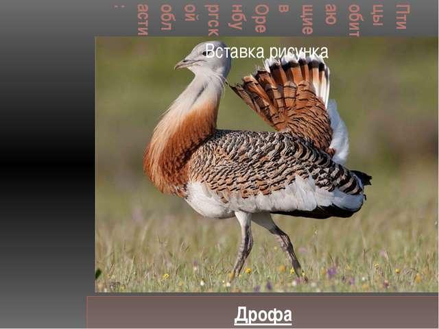 Птицы обитающие в Оренбургской области: Дрофа