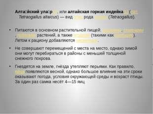 Алта́йский ула́р[1], или алтайская горная индейка[1] (лат.Tetraogallus altai