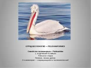 ОТРЯД ВЕСЛОНОГИЕ — PELEKANIFORMES Семейство пеликановые— Pelekanidae 1. КУДР