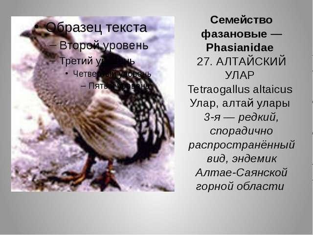 Семейство фазановые — Phasianidae 27. АЛТАЙСКИЙ УЛАР Tetraogallus altaicus Ул...