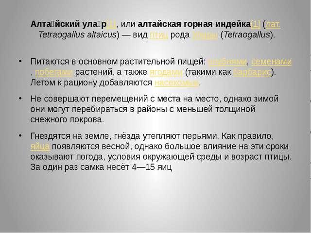 Алта́йский ула́р[1], или алтайская горная индейка[1] (лат.Tetraogallus altai...