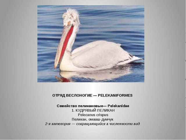 ОТРЯД ВЕСЛОНОГИЕ — PELEKANIFORMES Семейство пеликановые— Pelekanidae 1. КУДР...