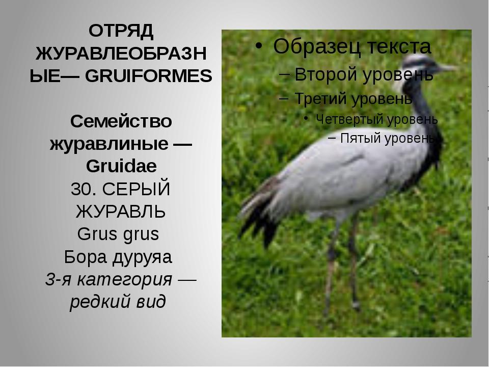 ОТРЯД ЖУРАВЛЕОБРАЗНЫЕ— GRUIFORMES Семейство журавлиные — Gruidae 30. СЕРЫЙ ЖУ...