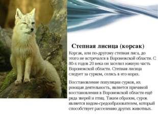 Степная лисица (корсак) Корсак, или по-другому степная лиса, до этого не встр