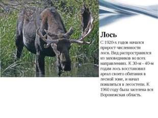 Лось С 1920-х годов начался прирост численности лося.Вид распространялся из