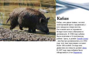 Кабан Кабан, или дикая свинья, заселял свой прежний ареал, продвигаясь с юго-