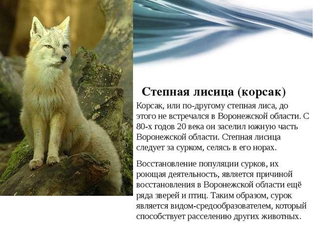 Степная лисица (корсак) Корсак, или по-другому степная лиса, до этого не встр...