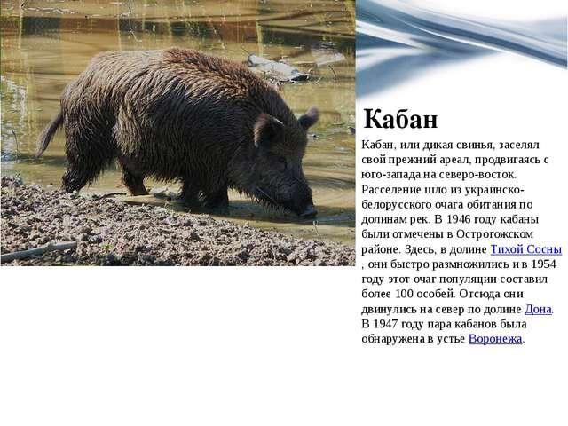 Кабан Кабан, или дикая свинья, заселял свой прежний ареал, продвигаясь с юго-...