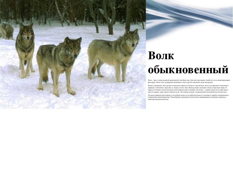 Волк обыкновенный Волк– вид с очень высокой адаптивной способностью. Для нег...