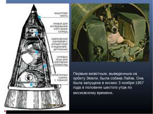 Первым животным, выведенным на орбиту Земли, была собака Лайка. Она была запу