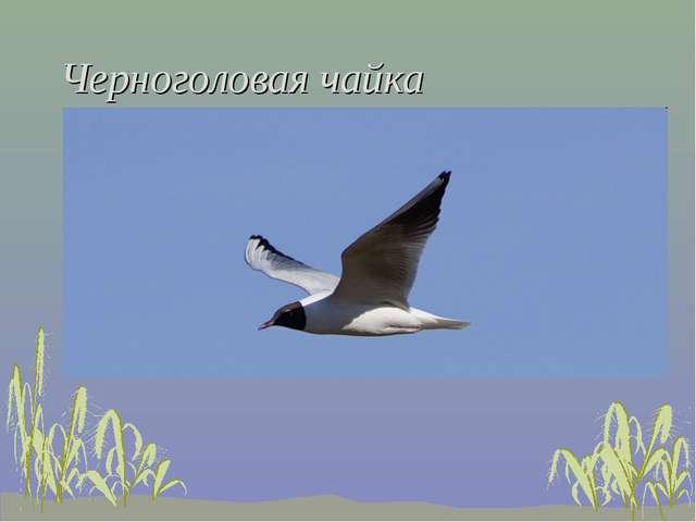 Черноголовая чайка