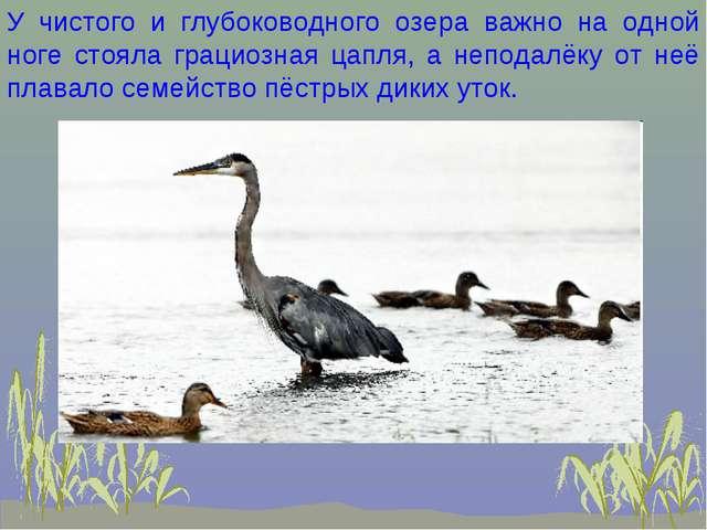 У чистого и глубоководного озера важно на одной ноге стояла грациозная цапля,...