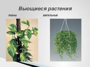 Вьющиеся растения лианы ампельные