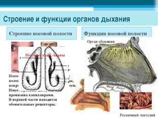 Строение и функции органов дыхания Строение носовой полости Функции носовой