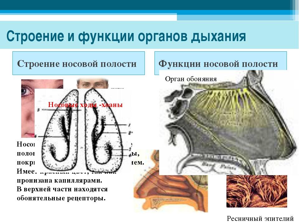 Строение и функции органов дыхания Строение носовой полости Функции носовой...