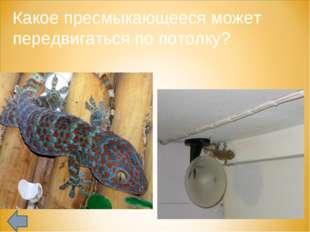 Какое пресмыкающееся может передвигаться по потолку?