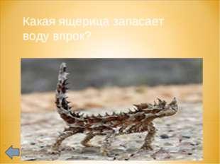Какая ящерица запасает воду впрок?