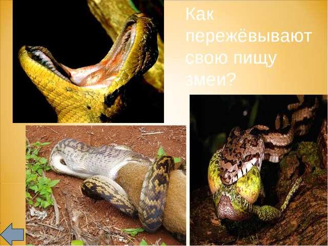 Как пережёвывают свою пищу змеи?