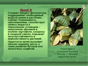 * Калий К Ускоряет процесс фотосинтеза, поддерживает необходимый водный режим