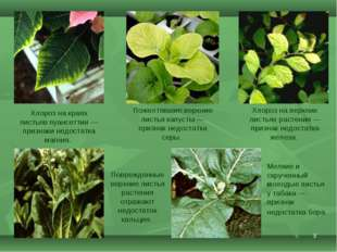 * Хлороз на краях листьев пуансеттии— признаки недостатка магния. Поврежденн